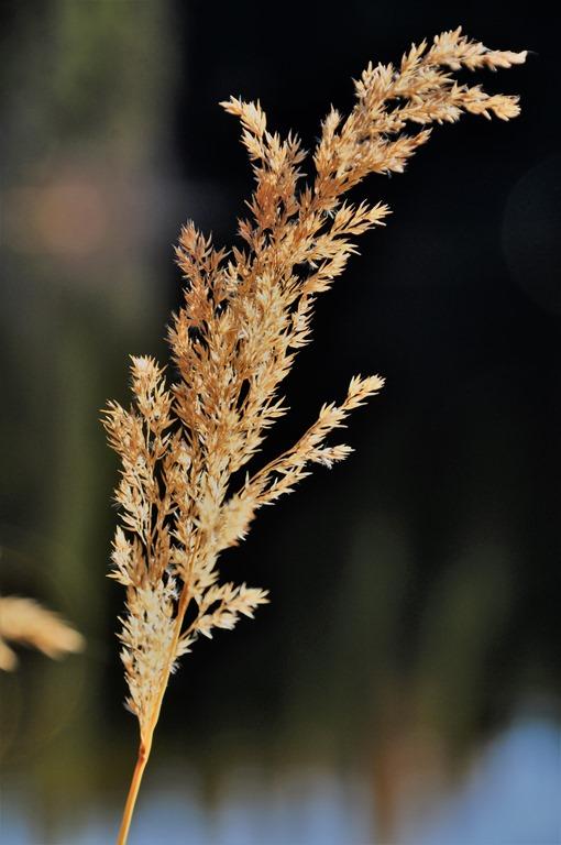 Blade of grass in Nancy Green Provincial Park - Oct 22-2018 - bruce witzel photo