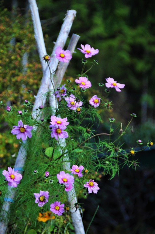 Cosmos on pea trellis Nov 2018 -bruce witzel photo