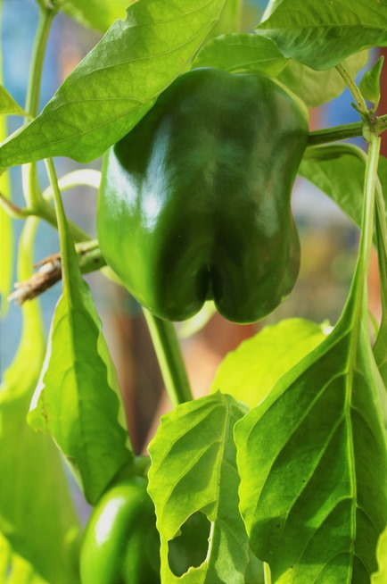 Last green peppers in the greenhouse Nov 19-2018 - bruce witzel photo