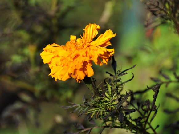 Last marigold Nov 12-2018 - bruce witzel photo