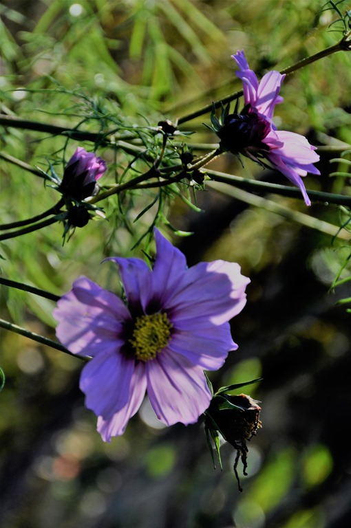 Last of fall cosmos photo 2 Nov 19-2018 - bruce witzel photo