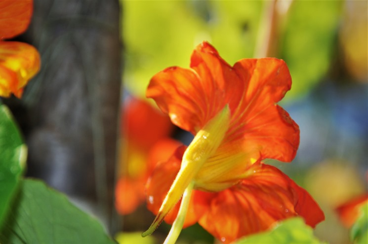 Last of the nasturtiums Nov 19-2018 - bruce witzel photo