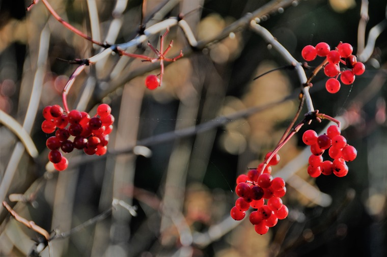 Ninebark berries Nov 19-2018 - bruce witzl photo