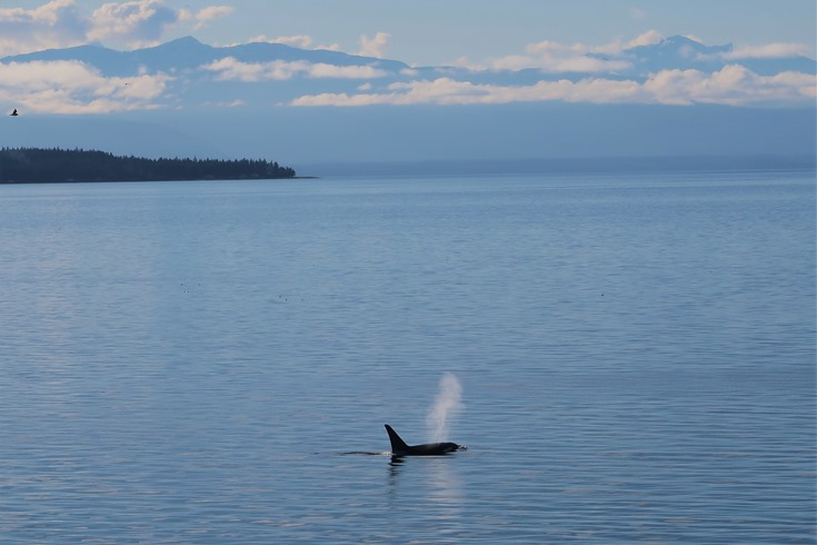 Orca in the Salish Sea 1 - photo by brian voth