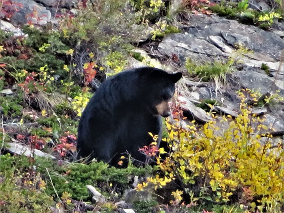 Sheep River Provinical Park and a black bear Oct 7-2019 - francis guenette photo