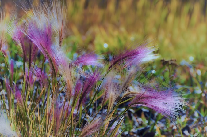 Burgundy grass 2010-10-20 bruce witzel photo