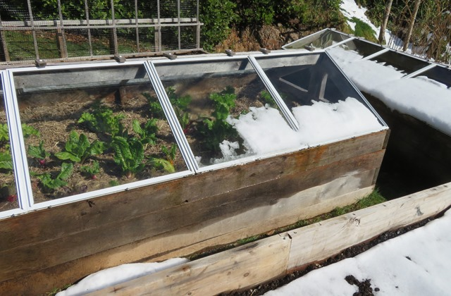 Our coldframe with swiss chard and celery 2021-03-13 bruce witzel photo